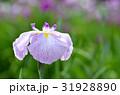花菖蒲 花 アヤメ科の写真 31928890