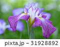 花菖蒲 花 アヤメ科の写真 31928892