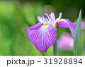 花菖蒲 花 アヤメ科の写真 31928894