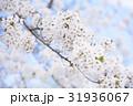 桜 春 晴れの写真 31936067