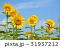 ひまわり 31937212