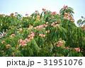 合歓の木 ねむのき 花の写真 31951076