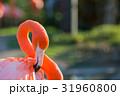 フラミンゴ ベニイロフラミンゴ 鳥の写真 31960800