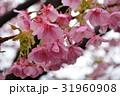 河津桜 静岡県 31960908