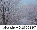 霧に煙る山桜1(香川県さぬき市峰堂峠) 31960997