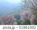 霧に煙る山桜6(香川県さぬき市峰堂峠) 31961002