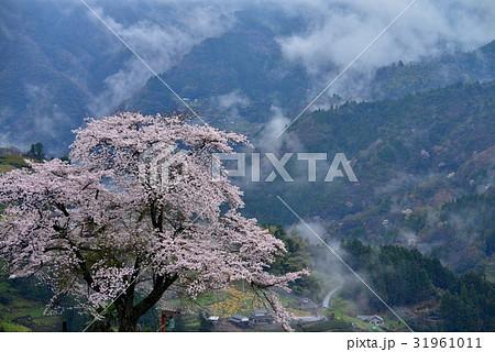 信正堂の桜1(徳島県三好市山城町信正) 31961011