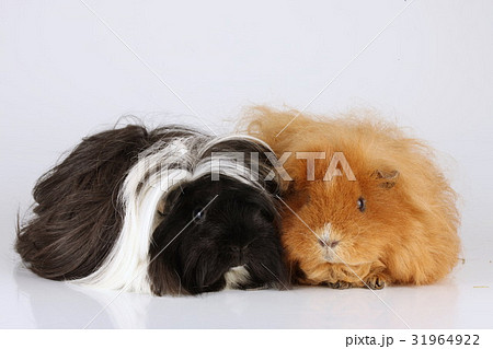 two guinea pigs sheltie and ch teddyの写真素材 31964922 pixta