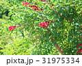 花 アメリカデイゴ 海紅豆の写真 31975334