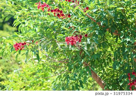 アメリカデイゴの花 31975334