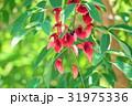 花 アメリカデイゴ 海紅豆の写真 31975336