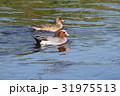 野鳥 カモ ヒドリガモの写真 31975513