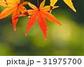モミジ 紅葉 秋の写真 31975700