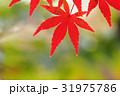 モミジ 紅葉 赤色の写真 31975786