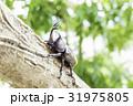 日本のカブトムシ 31975805