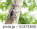 日本のカブトムシ 31975806