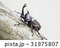日本のカブトムシ 31975807