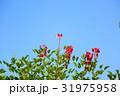 花 アメリカデイゴ 海紅豆の写真 31975958