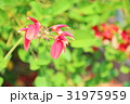 花 アメリカデイゴ 海紅豆の写真 31975959