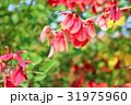 花 アメリカデイゴ 海紅豆の写真 31975960
