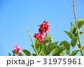 花 アメリカデイゴ 海紅豆の写真 31975961