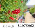 花 アメリカデイゴ 海紅豆の写真 31975962