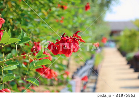 アメリカデイゴの花 31975962