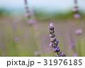 ラベンダーの花 31976185