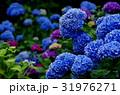 満開の紫陽花の青い花 31976271