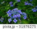 青いガクアジサイの花 31976275