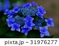 青いガクアジサイの花花 31976277