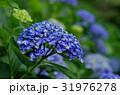 青いアジサイの花 31976278