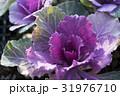 葉牡丹 アブラナ科 アブラナ属の写真 31976710