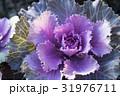 葉牡丹 アブラナ科 アブラナ属の写真 31976711