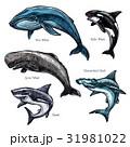 サメ シャーク 鮫のイラスト 31981022
