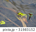 カエルの季節です。 31983152