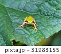 カエルの季節です。 31983155