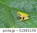 カエルの季節です。 31983156
