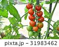 ミニトマト 31983462