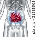 腸 小さい 小型のイラスト 31983508