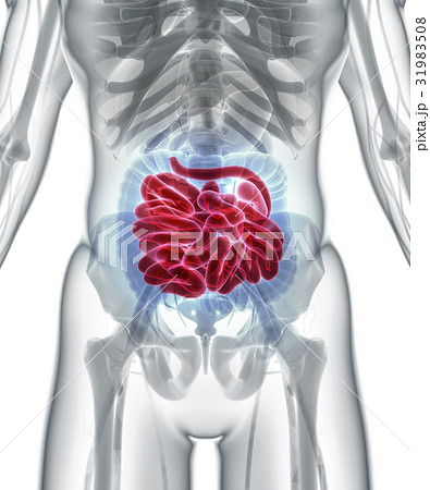 3D illustration of Small Intestine. 31983508