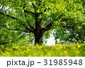 大木 大樹 巨木の写真 31985948