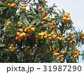 ビワ びわ 枇杷の写真 31987290