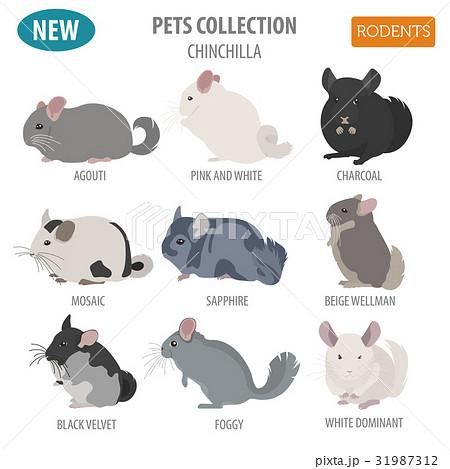 Chinchilla breeds icon set flat style isolated 31987312