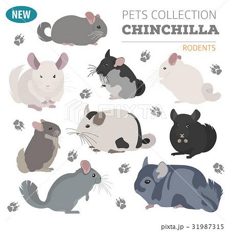 Chinchilla Breeds Icon Set Flat Style Isolatedのイラスト素材