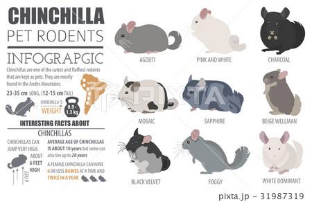 Chinchilla breeds icon set flat style isolated 31987319