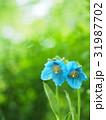 ヒマラヤの青いケシ 31987702