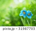 ヒマラヤの青いケシ 31987703