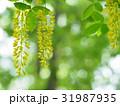 キングサリの花 31987935