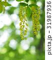 キングサリの花 31987936